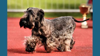 Cesky Terrier 3