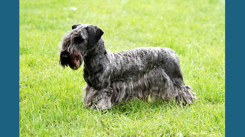 Cesky Terrier 4