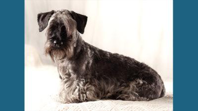 Cesky Terrier 5