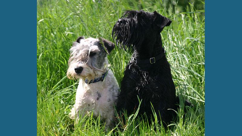 Cesky Terrier 8