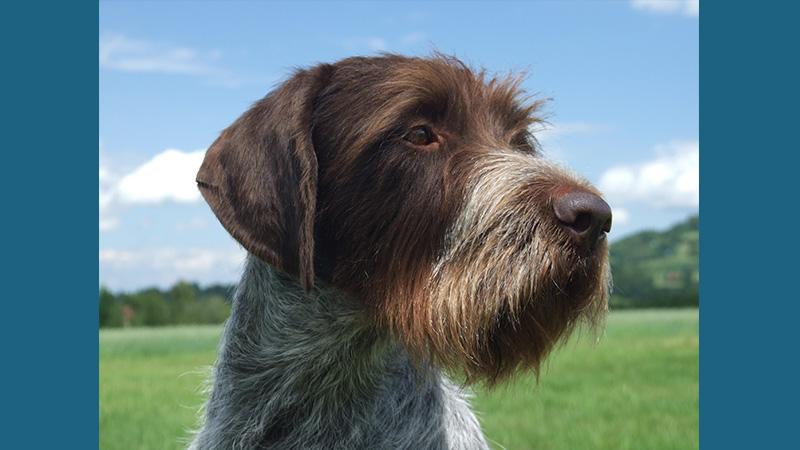 Cesky Terrier 9