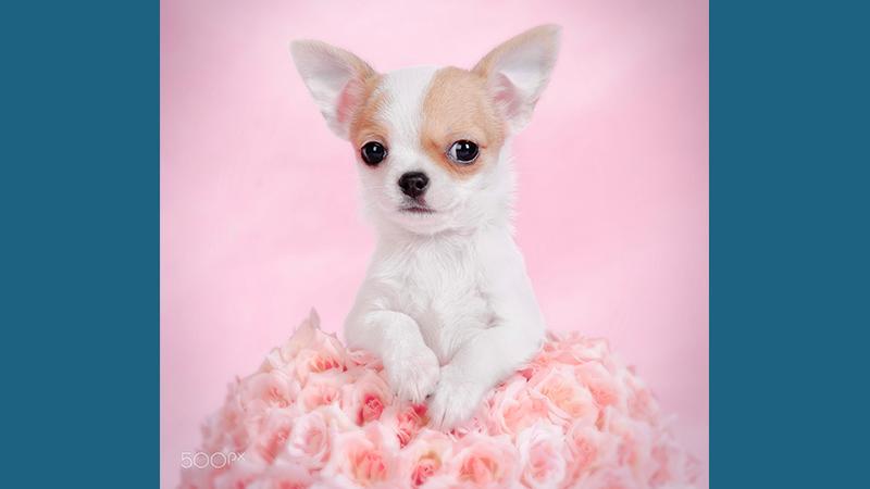 Chihuahua 10