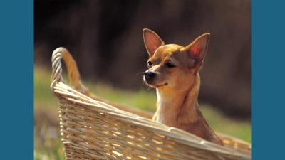Chihuahua 11