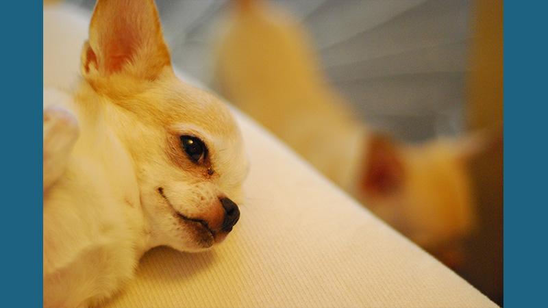 Chihuahua 12