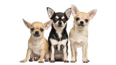 Chihuahua 13