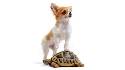 Chihuahua 14