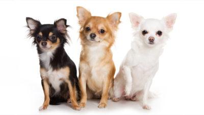 Chihuahua 3