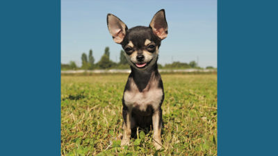 Chihuahua 5