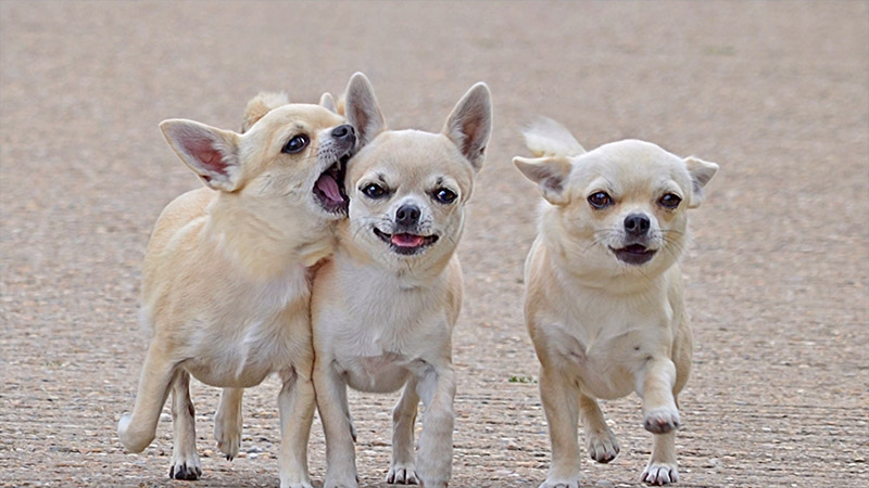 Chihuahua 7