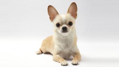 Chihuahua 8