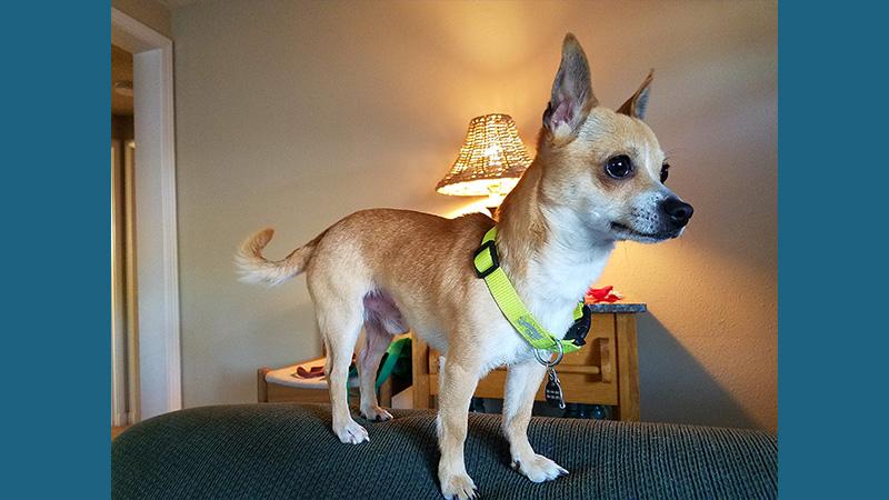 Chihuahua 9