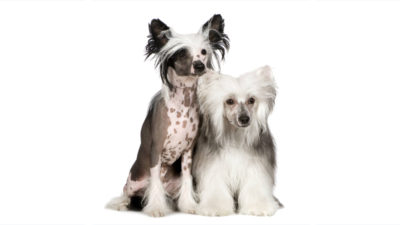Chinese Crested 1