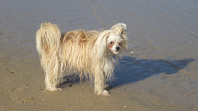 Chinese Crested 10
