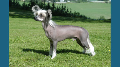 Chinese Crested 2