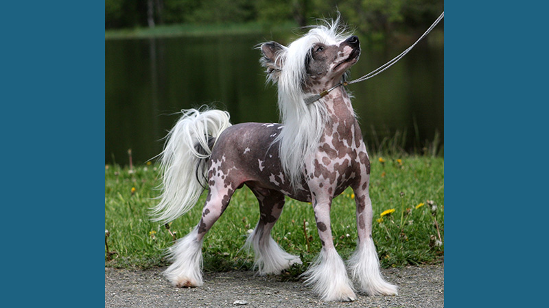 Chinese Crested 3