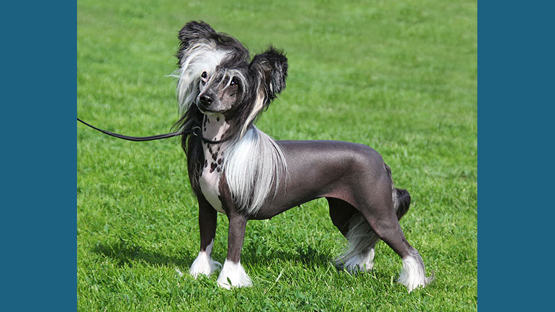 Chinese Crested 4