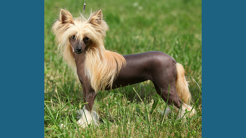 Chinese Crested 5