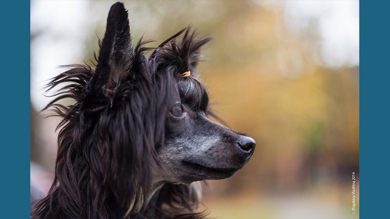 Chinese Crested 6