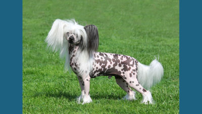 Chinese Crested 7
