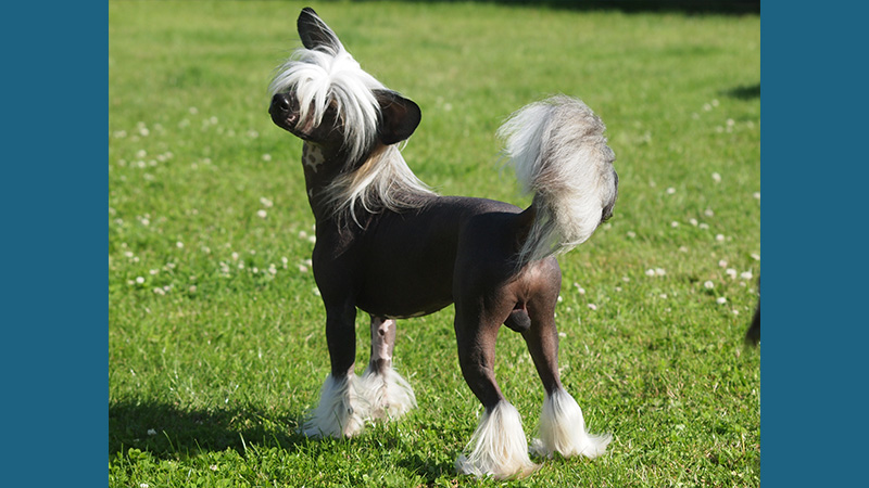 Chinese Crested 9