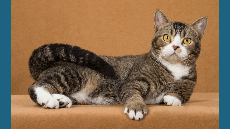 American Wirehair 1