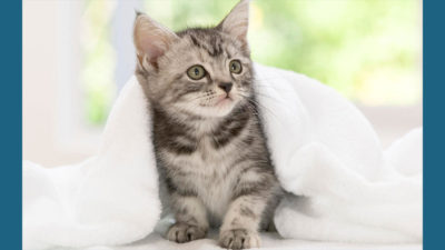American Wirehair 2