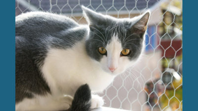 American Wirehair 3