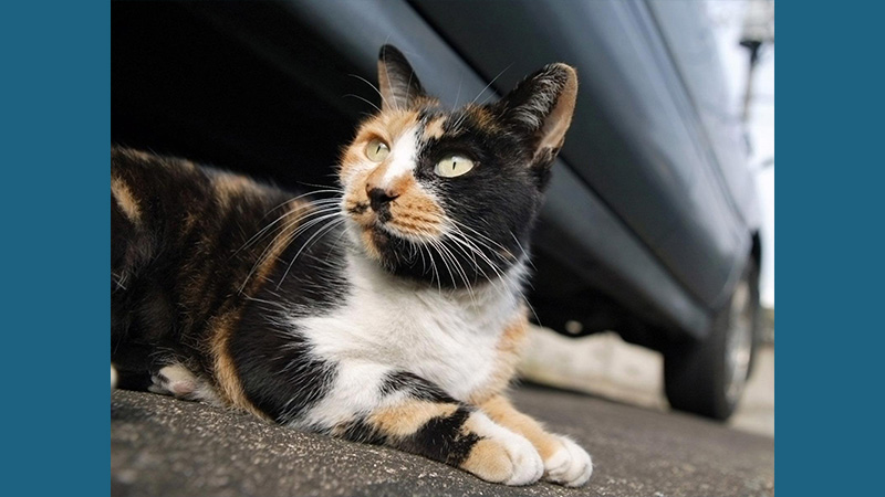 American Wirehair 4