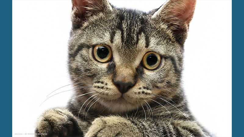 American Wirehair 5