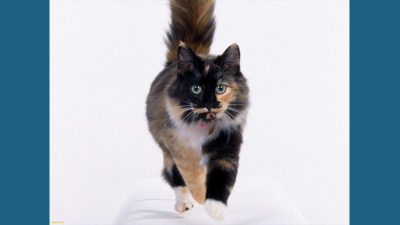 American Wirehair 6