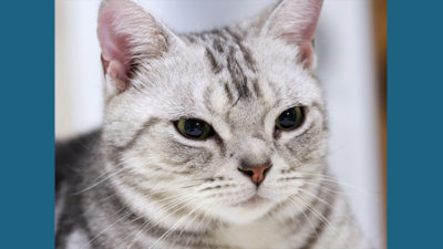 American Wirehair 7