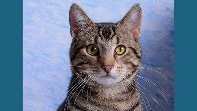 American Wirehair 8