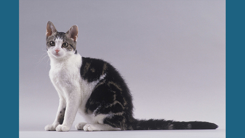 American Wirehair 9