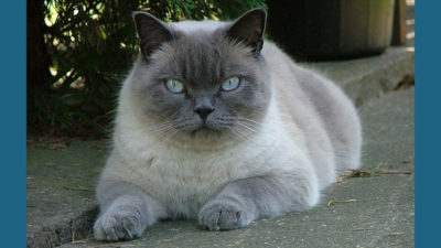 British Shorthair 6