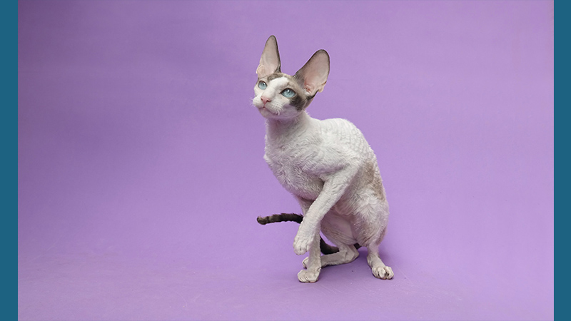 Cornish Rex 1