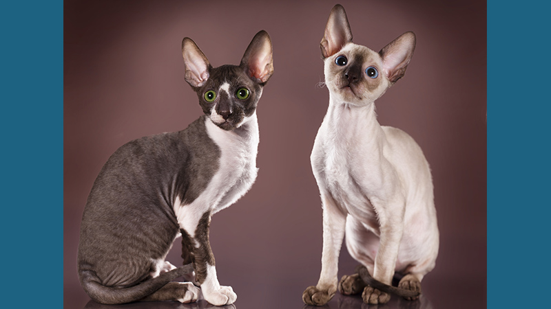 Cornish Rex 3