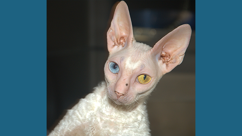Cornish Rex 4