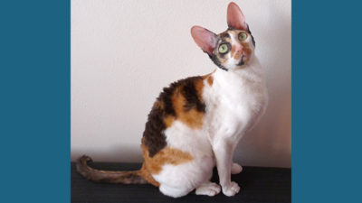 Cornish Rex 5