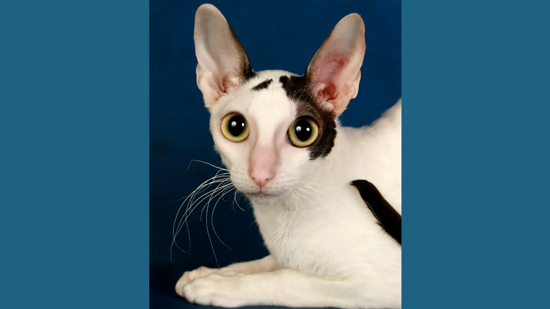 Cornish Rex 6