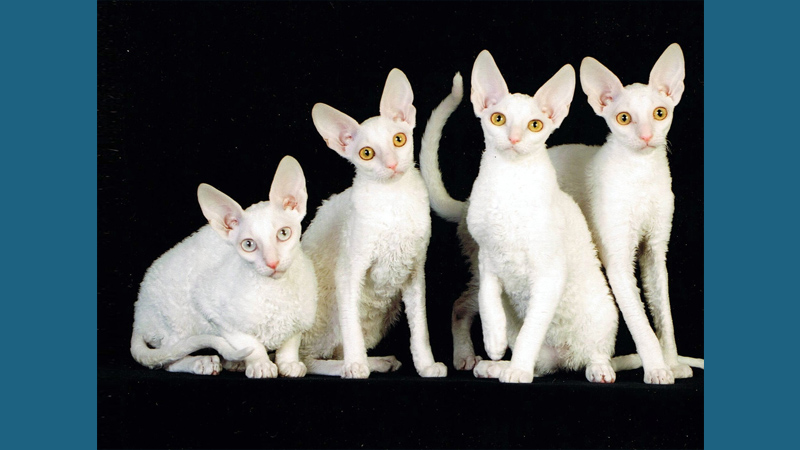 Cornish Rex 8