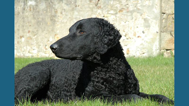 Curly-Coated Retriever 1