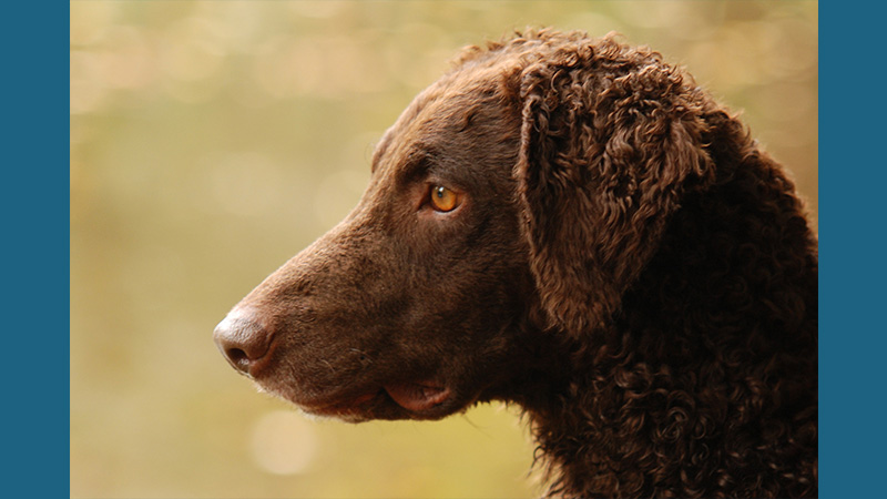Curly-Coated Retriever 10