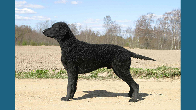 Curly-Coated Retriever 3
