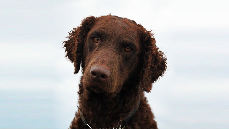 Curly-Coated Retriever 4