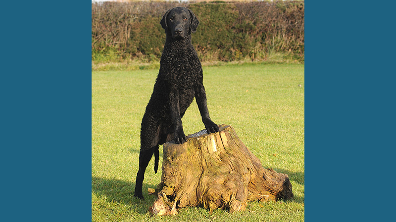 Curly-Coated Retriever 5