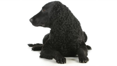 Curly-Coated Retriever 8