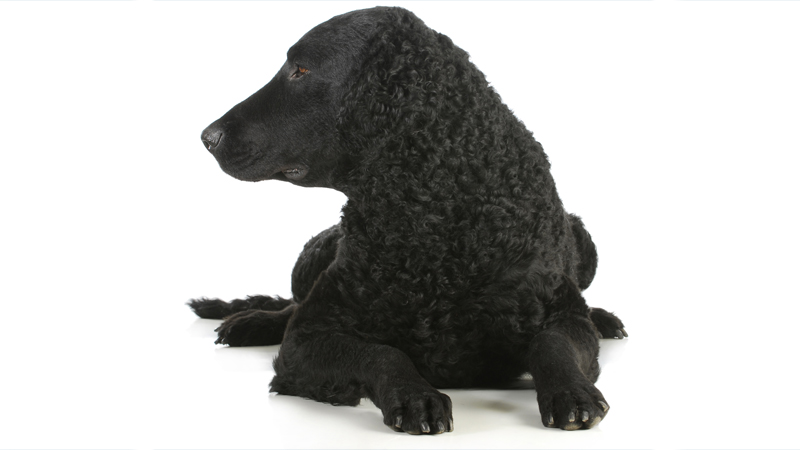 Curly-Coated Retriever 8