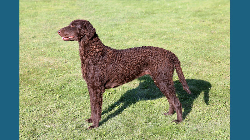 Curly-Coated Retriever 9