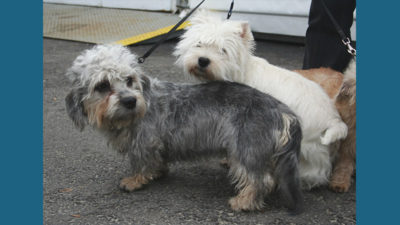 Dandie Dinmont Terrier 2