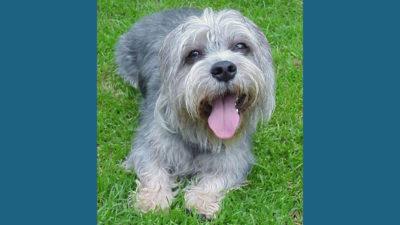 Dandie Dinmont Terrier 4